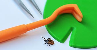 A szakszerűtlen kullancseltávolítás az egyik oka a fertőzéseknek