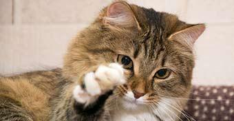 Macskakarmolási betegség