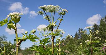 Növény, ami égési sérülést és vakságot okozhat