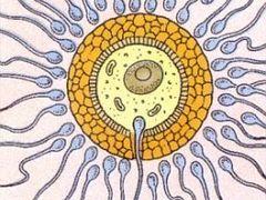 A szaporítószervek anatómiája